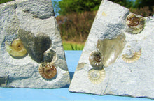 "Load image into Gallery viewer, ""Popped"" calcite multi Promicroceras ammonite display piece"