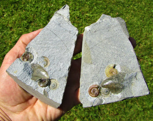 """Popped"" calcite multi Promicroceras ammonite display piece"