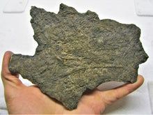 Load image into Gallery viewer, Large detailed crinoid fossil (180 mm)