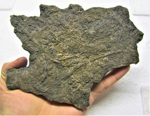 Large detailed crinoid fossil (180 mm)
