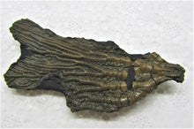 Load image into Gallery viewer, Rare detailed crinoid fossil head (63 mm)