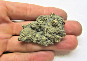 High-quality pyrite multi-ammonite fossil (50 mm)