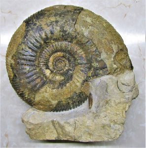 Large Parkinsonia display ammonite (260 mm)