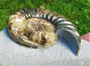Unusual Asteroceras obtusum display ammonite (61 mm)