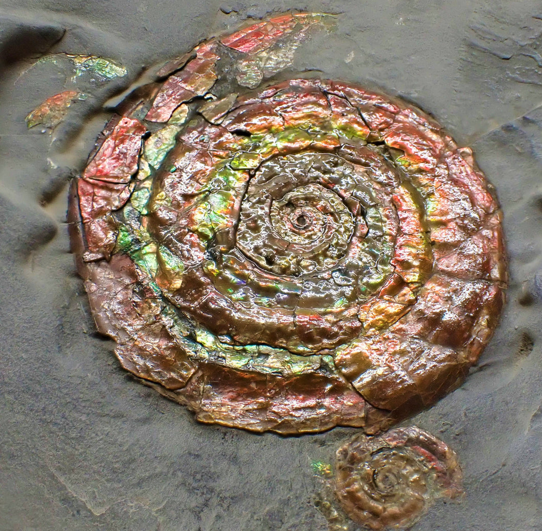 Rainbow iridescent double-Psiloceras ammonite display piece