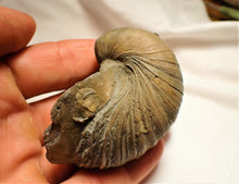 "Load image into Gallery viewer, Gryphaea ""Devil's toenail"" bivalve fossil"