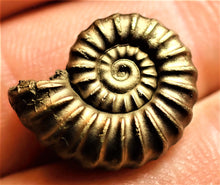Load image into Gallery viewer, Near-perfect <em>Promicroceras pyritosum</em> ammonite (18 mm)