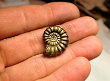 Load image into Gallery viewer, Large near-perfect <em>Promicroceras pyritosum</em> ammonite (22 mm)