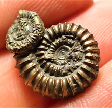 Load image into Gallery viewer, Pyrite Crucilobiceras ammonite (18 mm)
