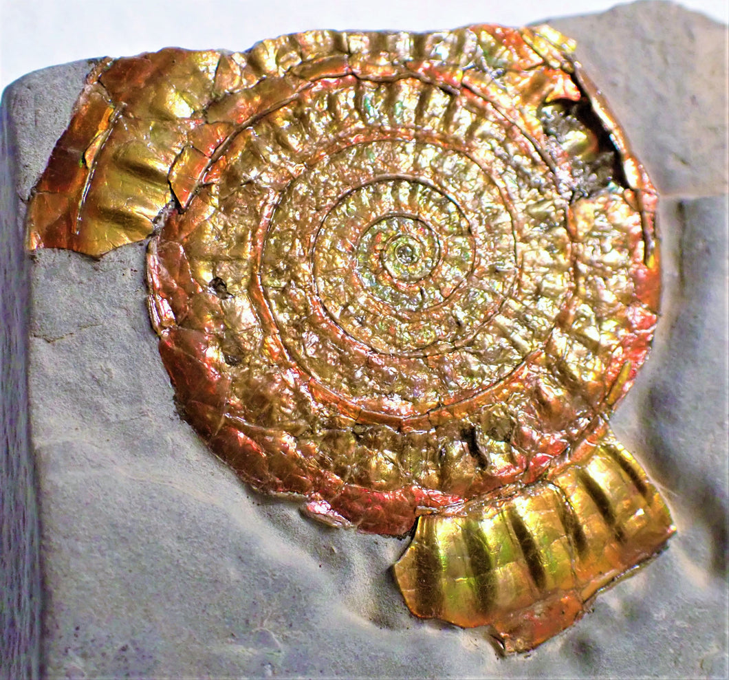 Copper and red iridescent Caloceras display ammonite