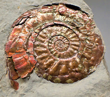 Load image into Gallery viewer, Iridescent Psiloceras ammonite display piece with gold spots