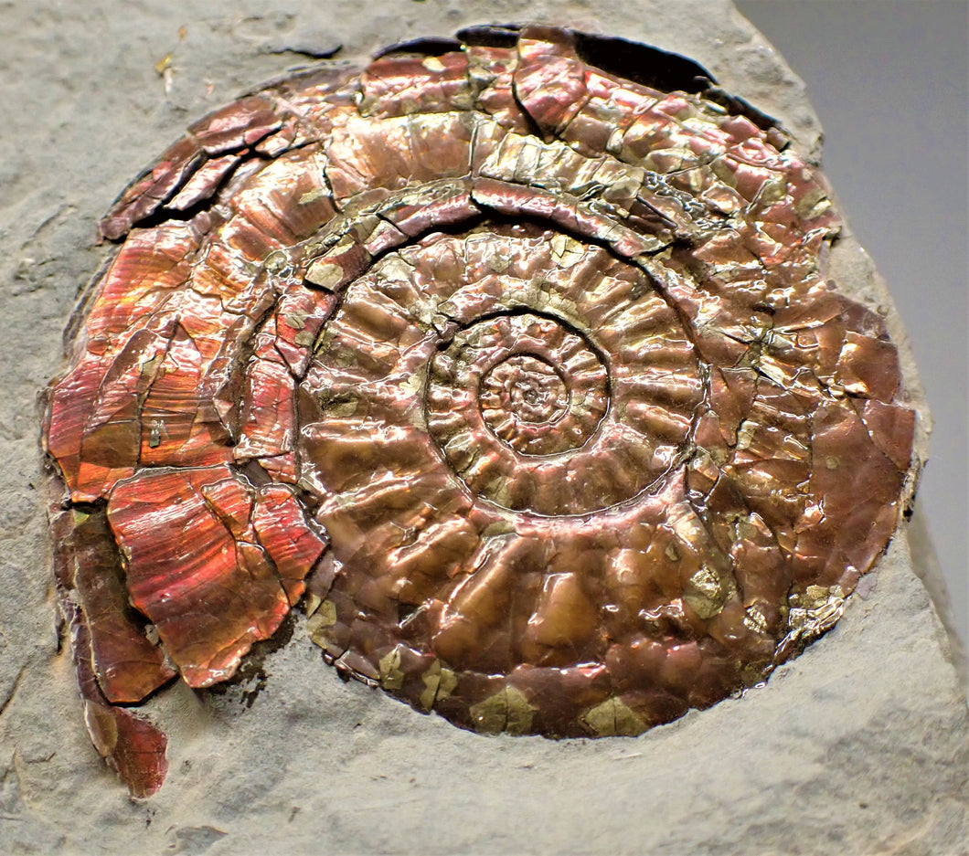 Iridescent Psiloceras ammonite display piece with gold spots