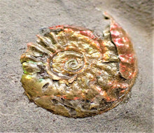 Load image into Gallery viewer, Fiery iridescent Caloceras display ammonite