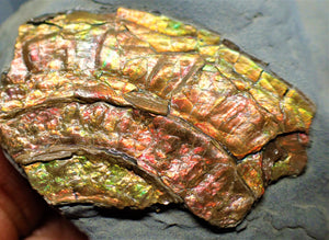 Fiery iridescent Caloceras display ammonite