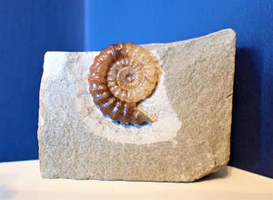 Calcite Promicroceras ammonite display piece (25 mm)