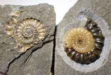 "Load image into Gallery viewer, ""Popped"" calcite Xipheroceras ammonite display piece"