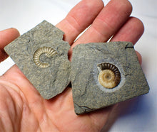 "Load image into Gallery viewer, ""Popped"" calcite Promicroceras ammonite display piece (18 mm)"