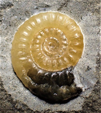 Load image into Gallery viewer, Calcite Promicroceras ammonite display piece (20 mm)