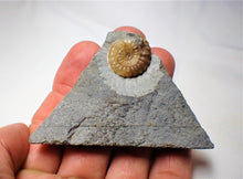 Load image into Gallery viewer, Colourful calcite Promicroceras ammonite display piece (19 mm)