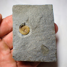 Load image into Gallery viewer, Calcite Promicroceras ammonite display piece (13 mm)