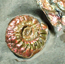 Load image into Gallery viewer, Iridescent multi-Psiloceras ammonite display piece
