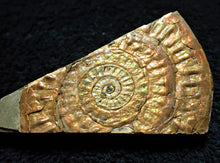 Load image into Gallery viewer, Stunning copper-iridescent Caloceras ammonite