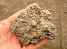 Load image into Gallery viewer, Very large pyrite multi-ammonite fossil (90 mm)