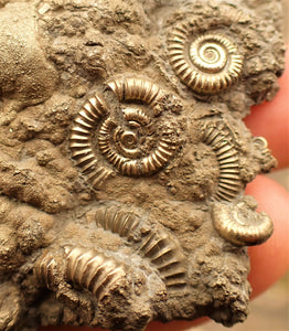 Very large pyrite multi-ammonite fossil (90 mm)