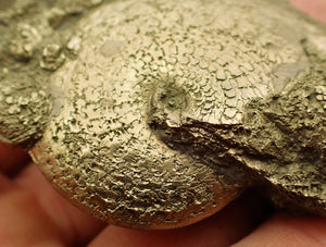High-quality Oxynoticeras ammonite (65 mm)
