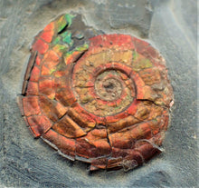 Load image into Gallery viewer, Red iridescent Psiloceras ammonite display piece