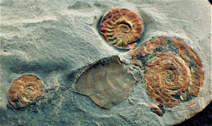 Iridescent multi-Psiloceras ammonite display piece