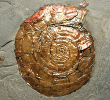 Load image into Gallery viewer, Large iridescent Psiloceras ammonite display piece