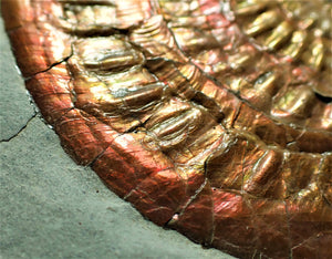 Fiery iridescent Caloceras display half ammonite