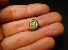 Load image into Gallery viewer, High quality <em>Promicroceras pyritosum</em> ammonite (15 mm)