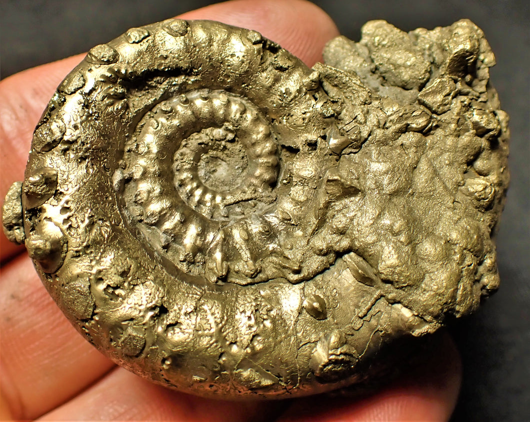 Large <em>Eoderoceras bispinigerum</em> ammonite (61 mm)