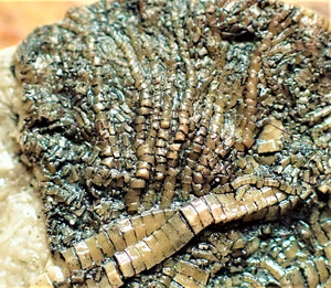 Crinoid fossil stem with attachment cirri and juvenile head  (50 mm)