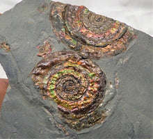 Load image into Gallery viewer, Rainbow iridescent double Psiloceras ammonite display piece