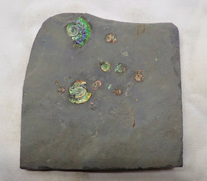Rainbow iridescent Psiloceras multi-ammonite display piece