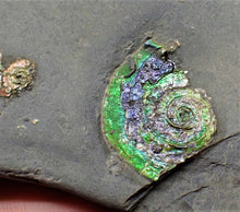 Load image into Gallery viewer, Rainbow iridescent Psiloceras multi-ammonite display piece