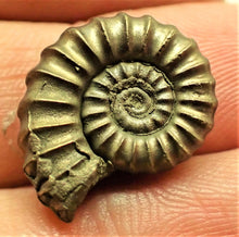 Load image into Gallery viewer, Pyrite <em>Promicroceras pyritosum</em> ammonite (18 mm)