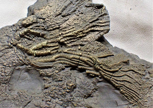 Unusual golden pyrite crinoid head in shale <em>Pentacrinites</em>