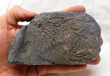 Load image into Gallery viewer, Rare pyrite multi-crinoid in shale display fossil (125 mm)