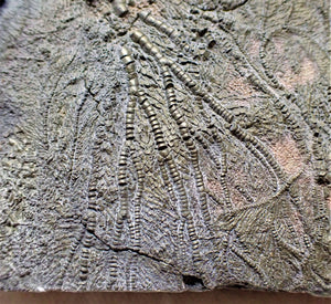 Rare pyrite multi-crinoid in shale display fossil (125 mm)