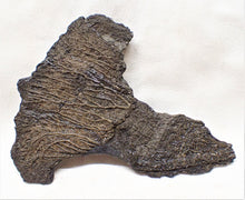 Load image into Gallery viewer, Complete crinoid fossil head (105 mm) <em>Pentacrinites</em>