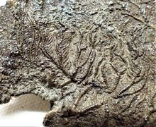 Load image into Gallery viewer, Detailed crinoid fossil head (75 mm)