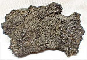 Detailed crinoid fossil head (75 mm)