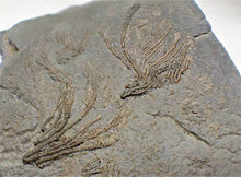 Load image into Gallery viewer, Rare pyrite multi-crinoid in shale display fossil (148 mm)