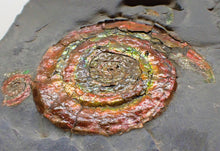 Load image into Gallery viewer, Rainbow iridescent double-Psiloceras ammonite display piece