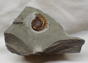 Calcite Promicroceras ammonite display piece (27 mm)