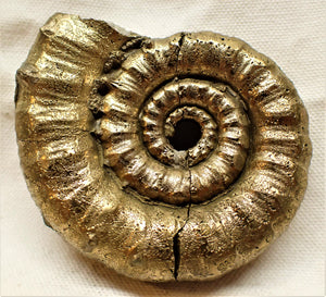 Large Eoderoceras ammonite (80 mm)